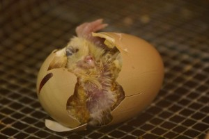 What comes first? The chicken or the egg?