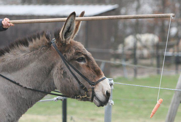 Donkey and a carrot